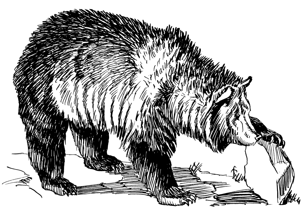grizzly bear drawings a grizzly bear drawing grizzly bear 4 grizzly bear bear drawings grizzly