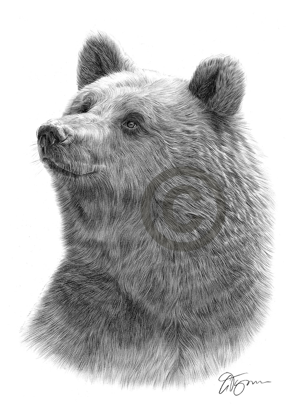 grizzly bear drawings beautiful grizzly bear drawing with images bear grizzly drawings bear