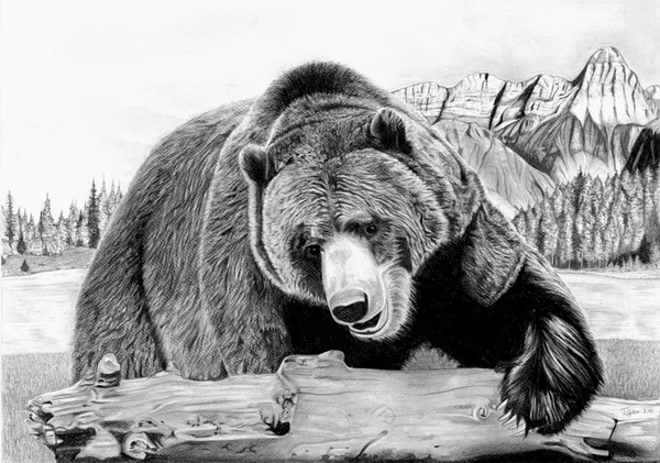grizzly bear drawings grizzly bear drawings fine art america bear drawings grizzly