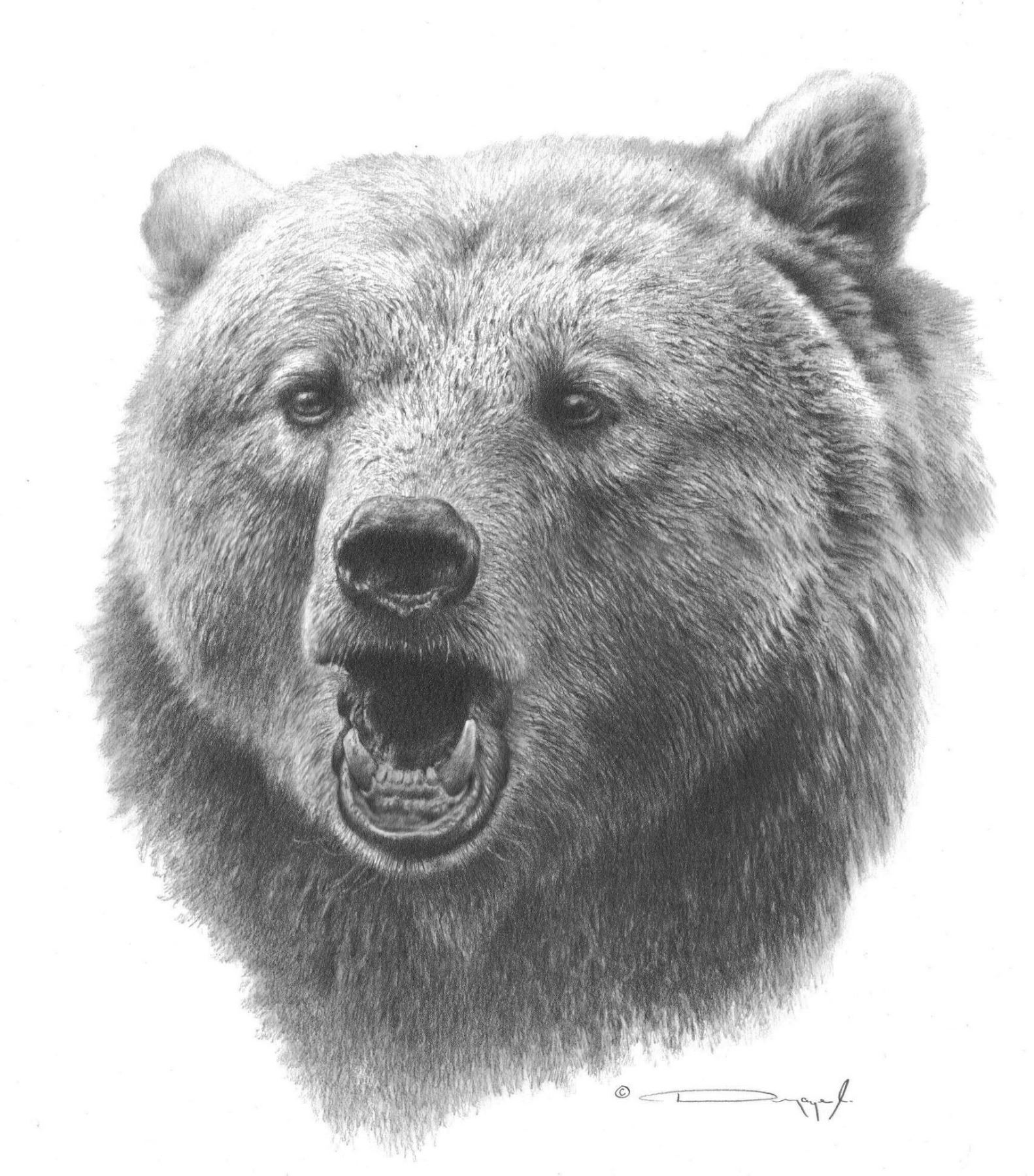 grizzly bear drawings grizzly bear fishing quality pencil drawing artist bear drawings grizzly