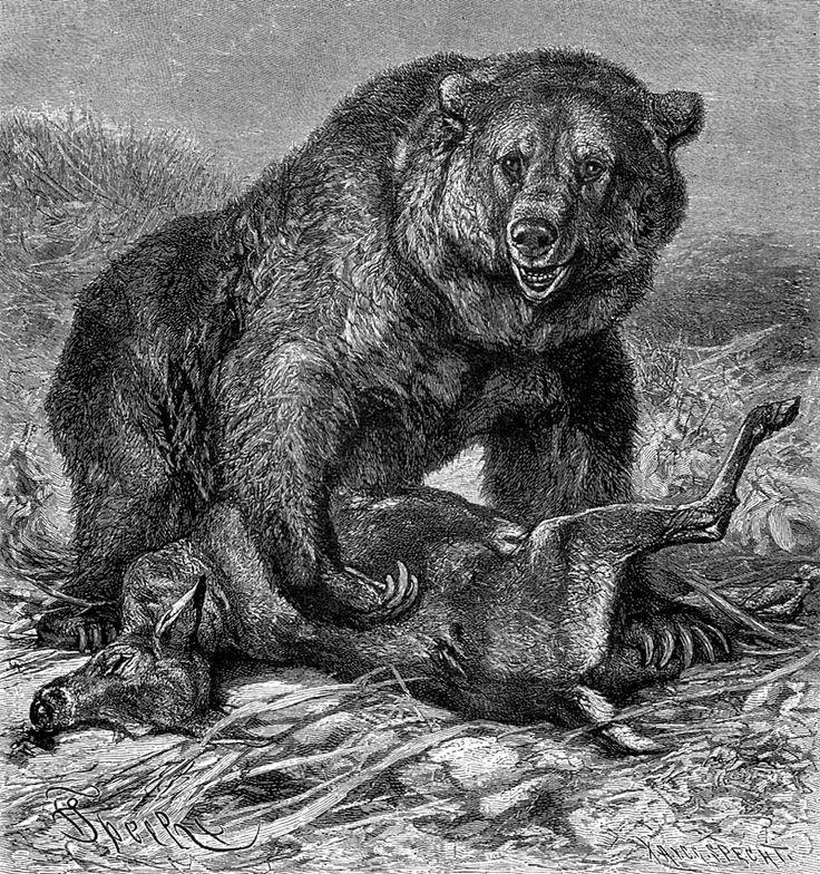 grizzly bear drawings grizzly bear original pencil drawing by dennis mayer jr bear grizzly drawings