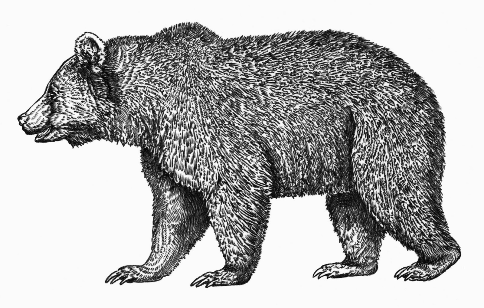 grizzly bear drawings grizzly bear pencil by sawcyy on deviantart bear drawings grizzly