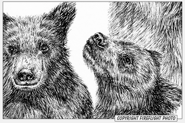 grizzly bear drawings grizzly bear print from an original graphite pencil grizzly bear drawings