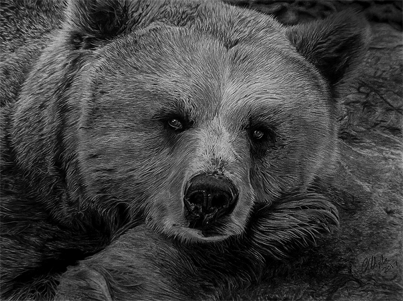 grizzly bear drawings grizzly drawing ink realistic bear head drawing clipart drawings grizzly bear