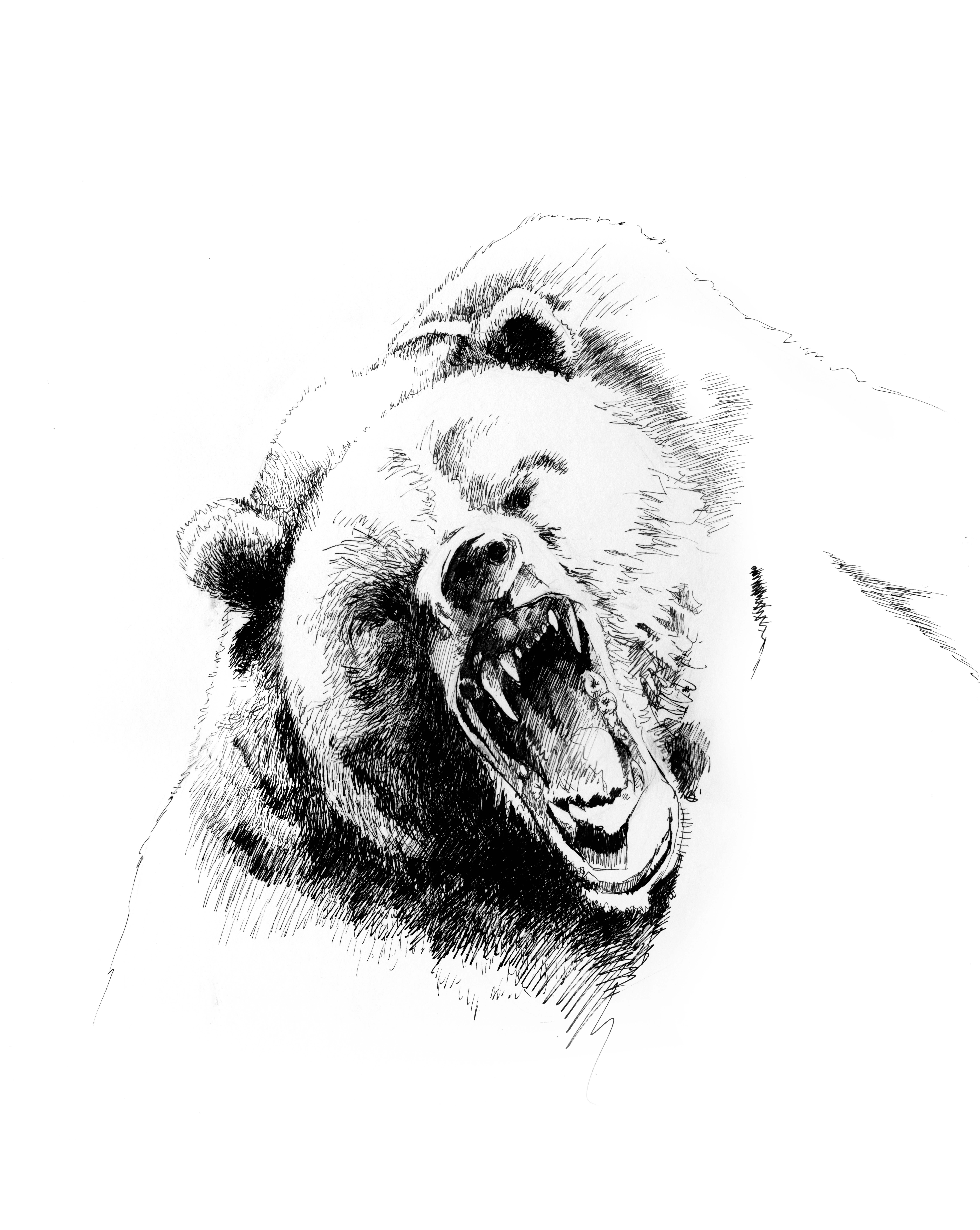 grizzly bear drawings grizzly old bear drawing by paul kmiotek bear grizzly drawings
