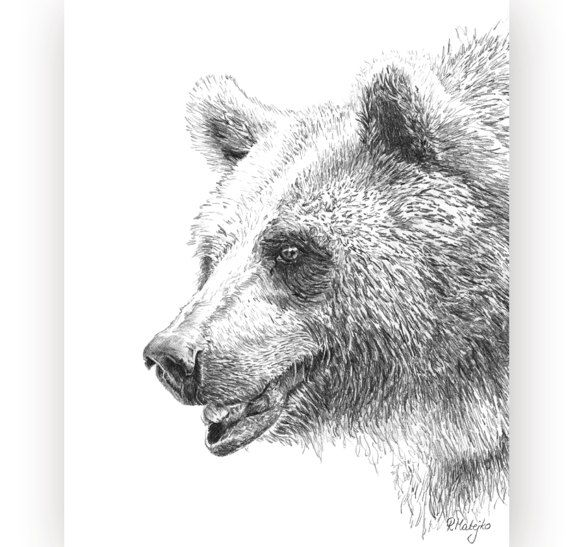 grizzly bear drawings sandra dieckmann originals for sale grizzly drawings bear
