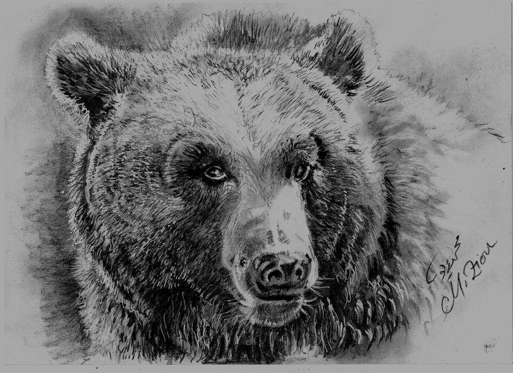 grizzly bear drawings wrc illustration design blog february 2011 grizzly bear drawings
