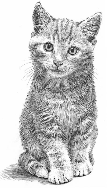 how to draw a baby kitten pencil drawing portrait of a kitten by uk artist gary tymon kitten how draw baby a to