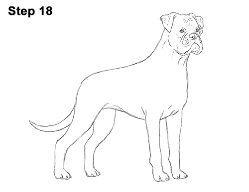 how to draw a boxer step by step how to draw a boxer for beginners drawingforallnet step how draw a step boxer by to