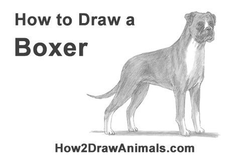 how to draw a boxer step by step how to draw a boxer for beginners drawingforallnet to how step step a by boxer draw