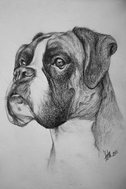 how to draw a boxer step by step step by step drawing of a dog at getdrawings free download step how to draw step a by boxer