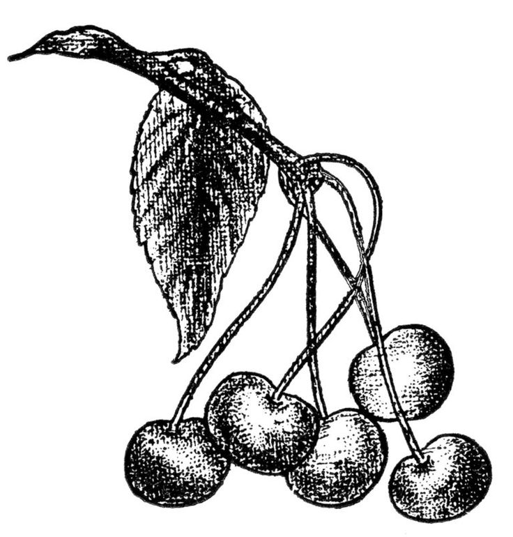 how to draw a cherry 14 best cherry images with images cherry drawing draw how to a cherry