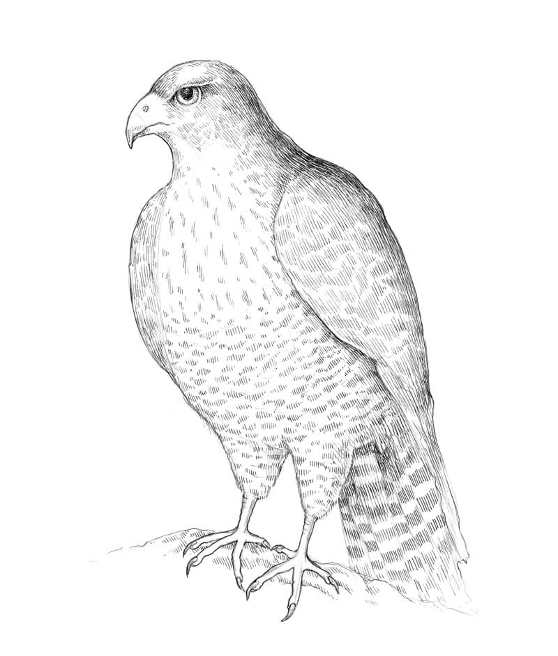 how to draw a falcon how to draw a falcon with pen and ink how a falcon to draw