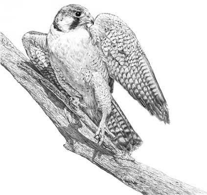 how to draw a falcon illustrated menagerie the peregrine falcon draw to how falcon a