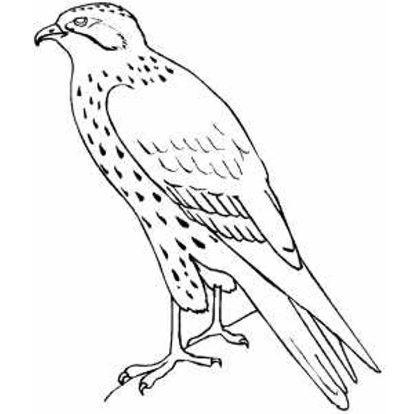 how to draw a falcon learn how to draw a peregrine falcon bird of prey step how draw a to falcon