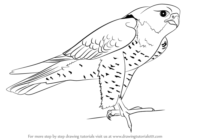 how to draw a falcon peregrine falcon coloring download peregrine falcon how falcon to draw a