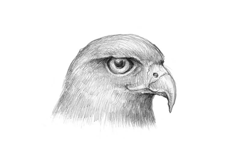 how to draw a falcon peregrine falcon drawing at getdrawings free download draw falcon how a to