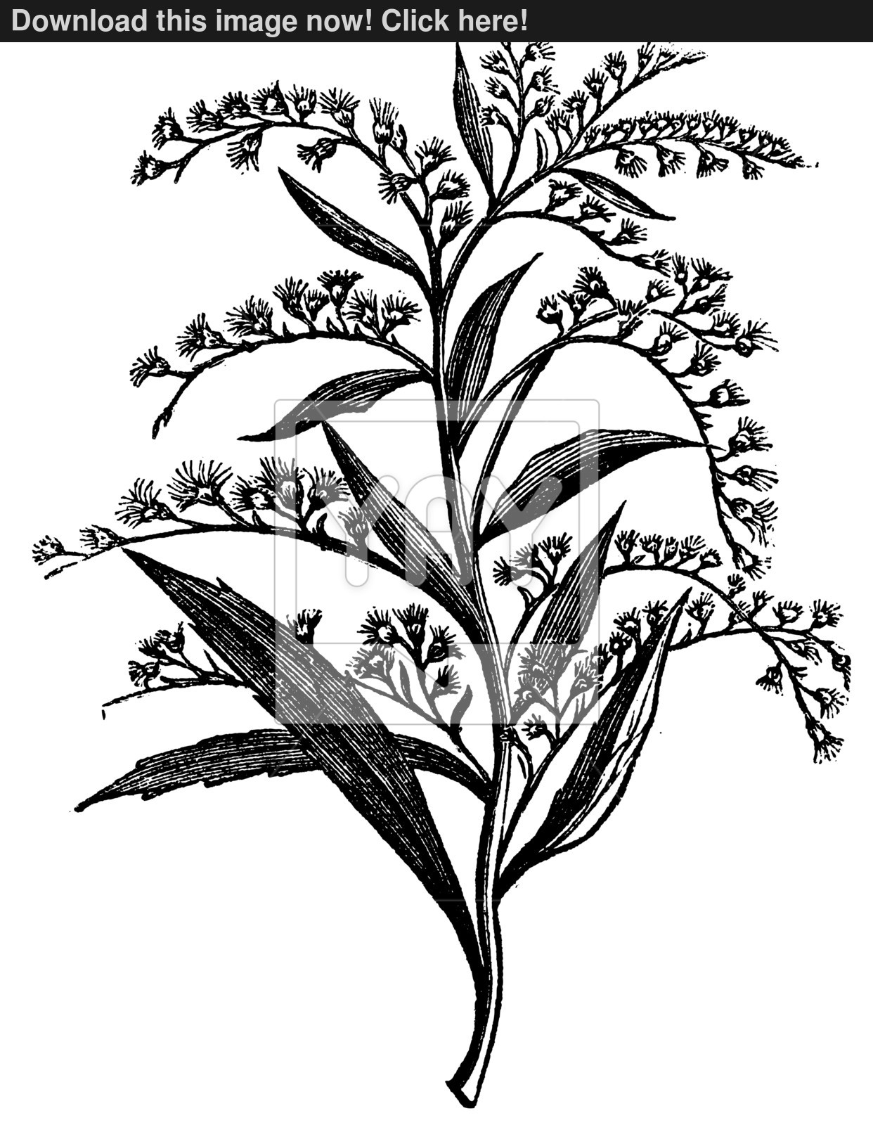 how to draw a goldenrod flower goldenrod flower drawing at getdrawings free download to how a flower goldenrod draw