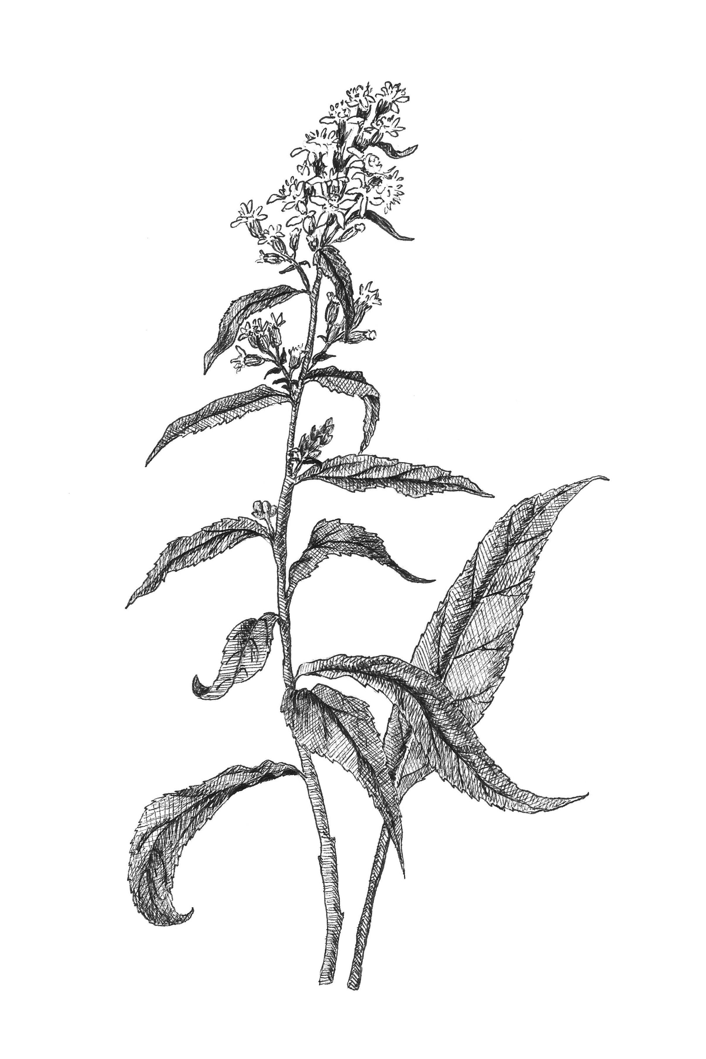 how to draw a goldenrod flower goldenrod flower drawing free download on clipartmag a goldenrod to how flower draw