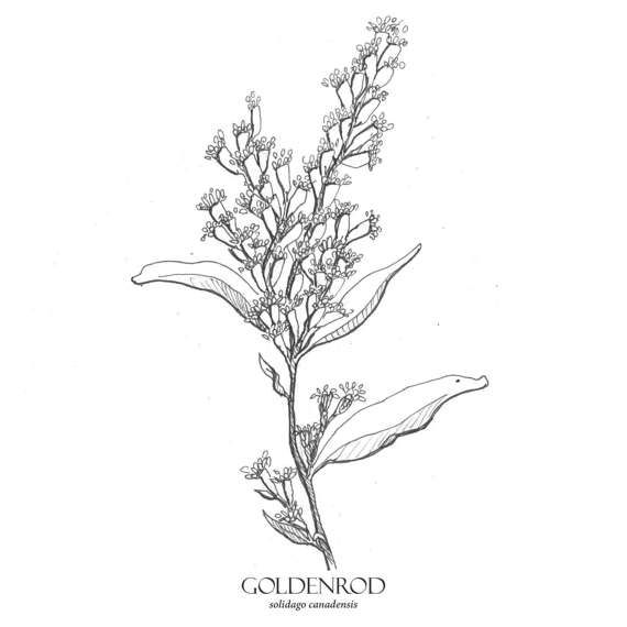 how to draw a goldenrod flower goldenrod flowers coloring pages coloring page book for flower a goldenrod to draw how