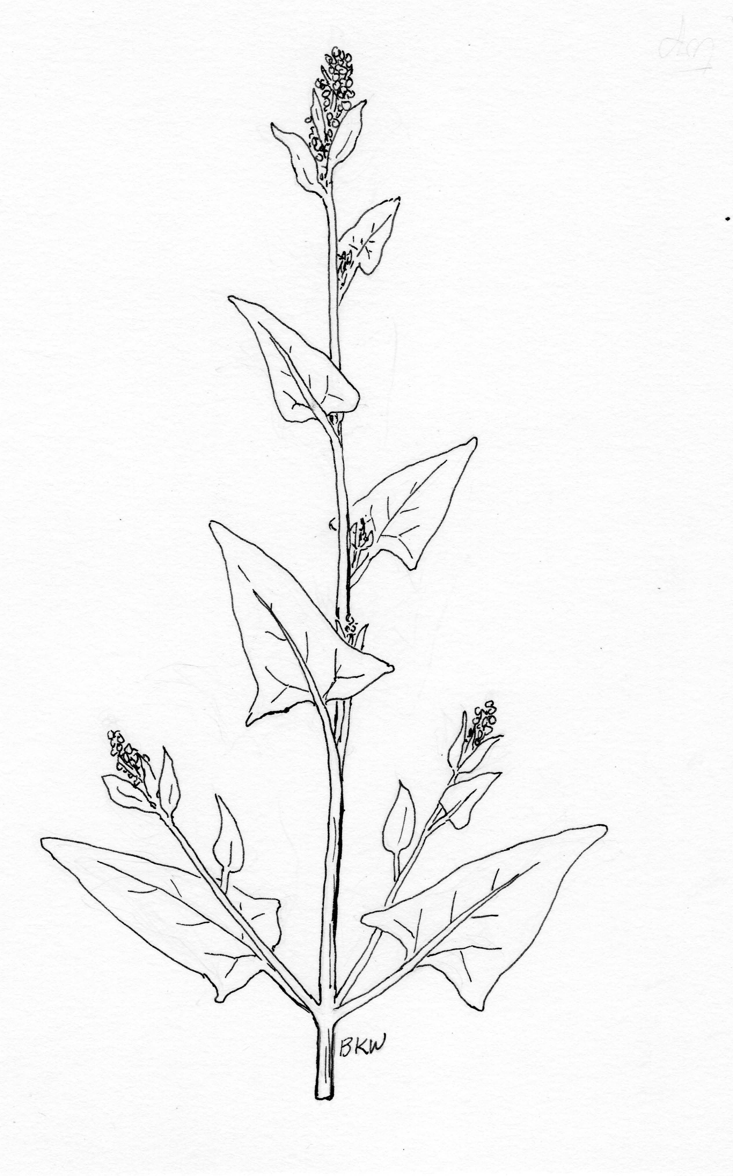 how to draw a goldenrod flower large image for solidago canadensis canada goldenrod draw to how flower goldenrod a