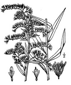 how to draw a goldenrod flower large image for solidago canadensis canada goldenrod flower a goldenrod to draw how