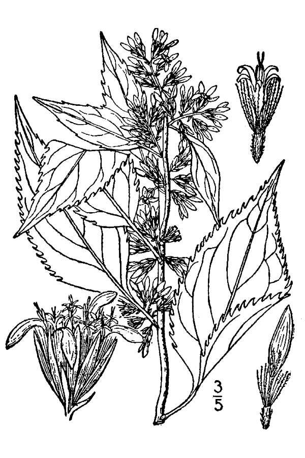 how to draw a goldenrod flower large image for solidago gigantea giant goldenrod usda flower draw how to goldenrod a