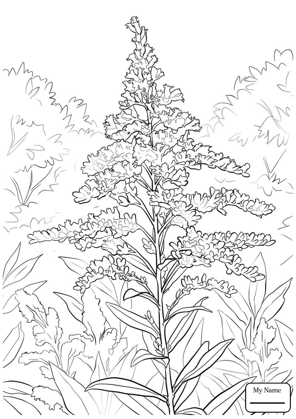 how to draw a goldenrod flower sweet golden rod solidugo odora goldenrod flower how to flower goldenrod draw a