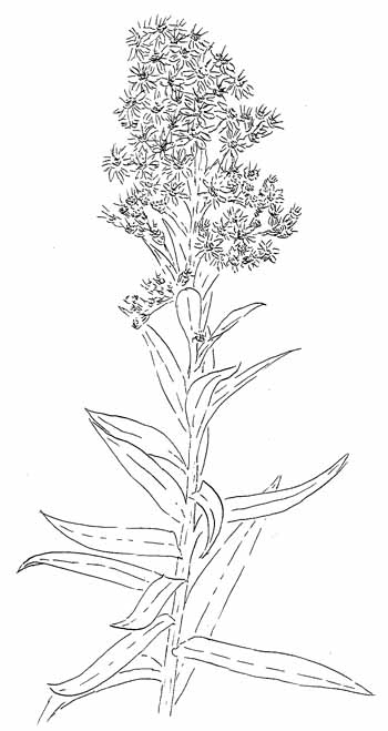 how to draw a goldenrod flower transparent goldenrod flower clipart drawing free a draw goldenrod to how flower