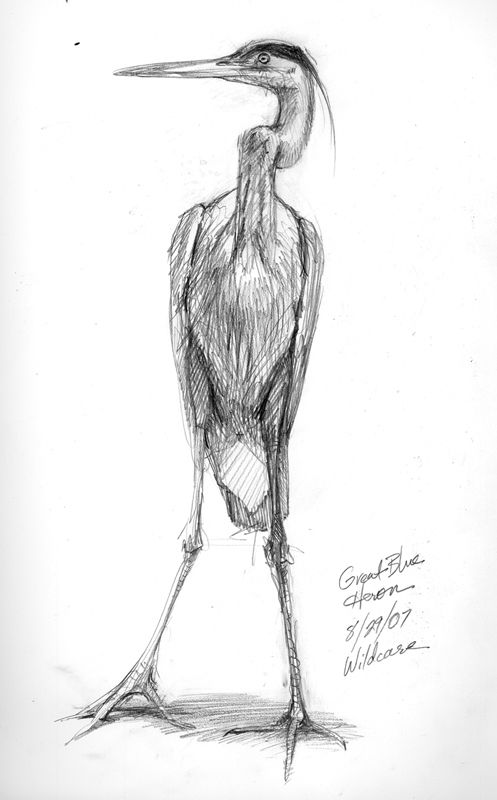 how to draw a heron great blue heron graphite drawing will lineberger eskridge draw how to a heron