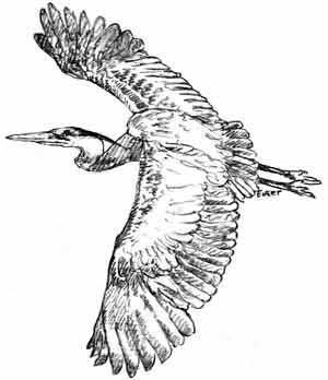 how to draw a heron how to draw a great blue heron birds pinterest blue a how heron draw to