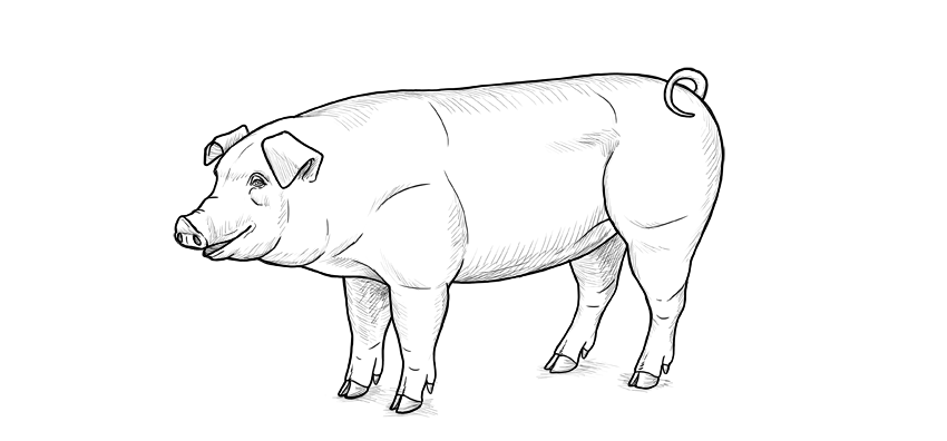how to draw a pig matthewcordellblogs yes i still like to draw pigs draw how a to pig
