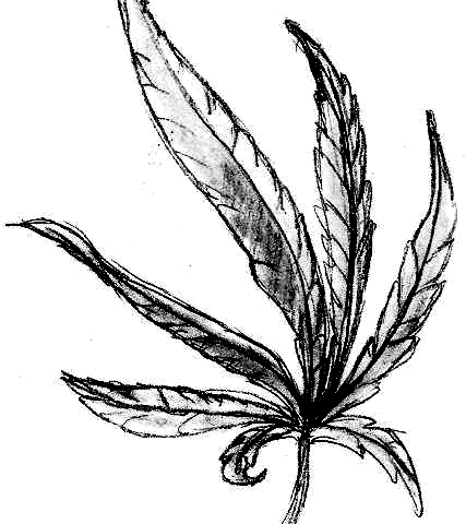 how to draw a potleaf best cannabis sativa illustrations royalty free vector to draw a potleaf how