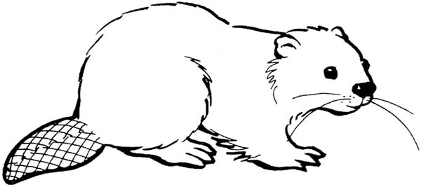 how to draw a realistic beaver american beaver coloring page coloring pages to beaver how realistic draw a
