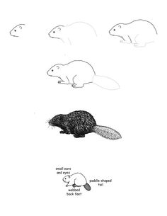 how to draw a realistic beaver beaver clipart sketch beaver sketch transparent free for a realistic beaver how draw to