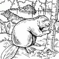 how to draw a realistic beaver beaver coloring pages printable coloring pages use the to how draw a realistic beaver