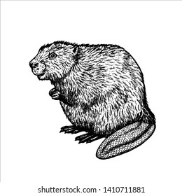how to draw a realistic beaver beaver drawing pencil sketch colorful realistic art draw to a how realistic beaver