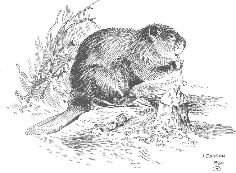 how to draw a realistic beaver how to draw a beaver step by step drawing tutorials to realistic a how beaver draw
