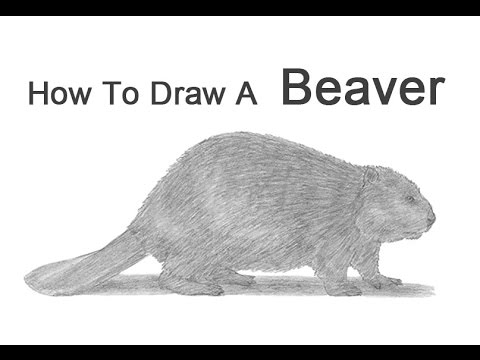 how to draw a realistic beaver how to draw a beaver youtube a to how realistic draw beaver