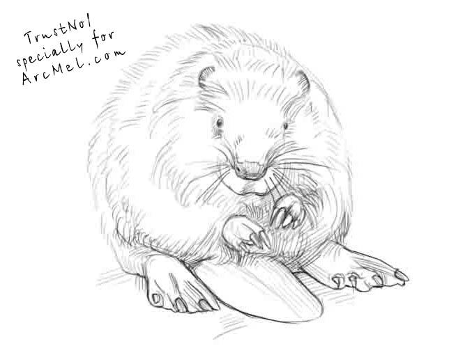 how to draw a realistic beaver how to draw cartoon beavers realistic beavers drawing draw how beaver a realistic to