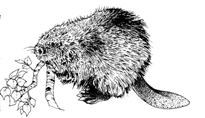 how to draw a realistic beaver sketching and illustrating with contour drawing how draw beaver realistic a to