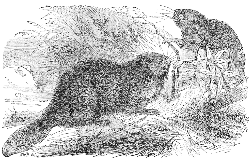 how to draw a realistic beaver swimming beaver coloring page free printable coloring pages a realistic beaver how to draw