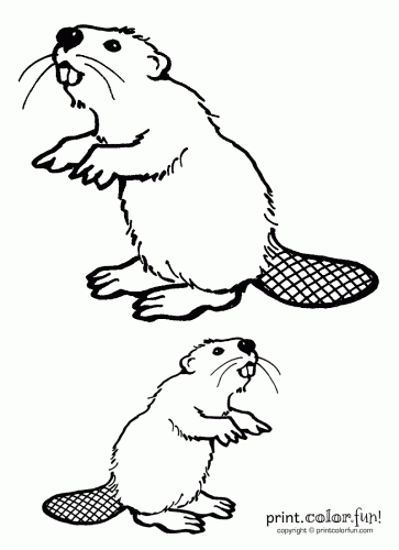 how to draw a realistic beaver two beavers coloring page print color fun a draw beaver realistic to how