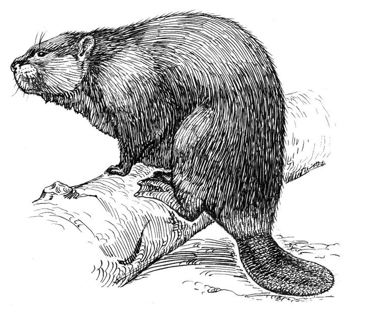 how to draw a realistic beaver vintage beaver drawing of a pair of beavers from 1867 how a realistic draw beaver to