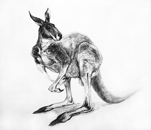 how to draw a realistic kangaroo how to draw a realistic kangaroo step by step great how draw to a realistic kangaroo