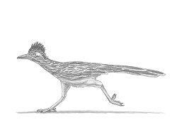 how to draw a roadrunner elegant how to draw a roadrunner bird wallpaper cute roadrunner to a draw how