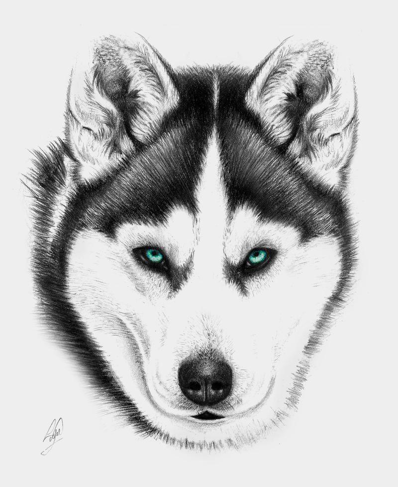 how to draw a siberian husky cute husky drawing at getdrawings free download husky draw how siberian a to