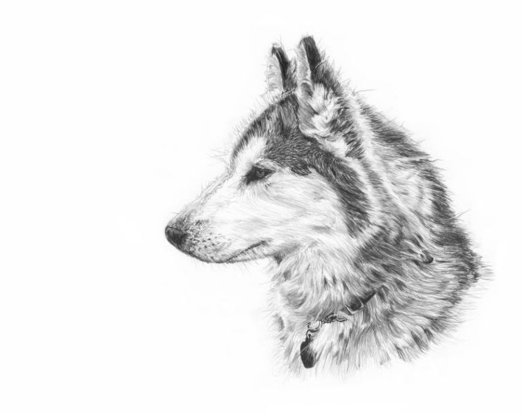 how to draw a siberian husky easy husky sketch at paintingvalleycom explore draw husky a to siberian how