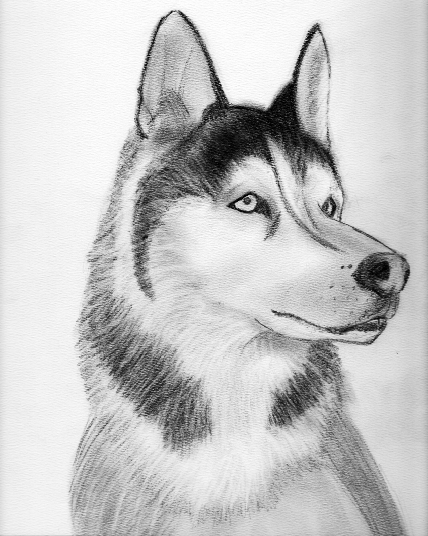 how to draw a siberian husky easy husky sketch at paintingvalleycom explore siberian draw how to husky a