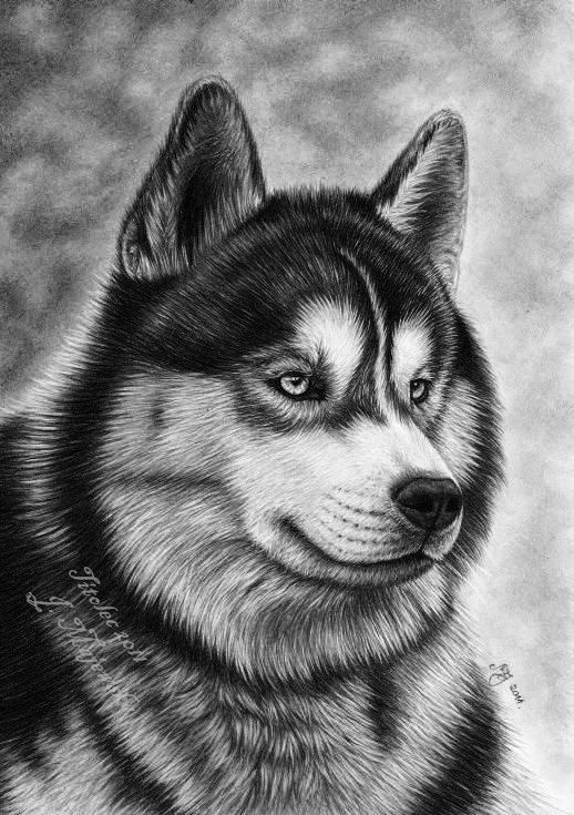 how to draw a siberian husky husky drawing by alleysamazingart on deviantart draw a siberian to how husky